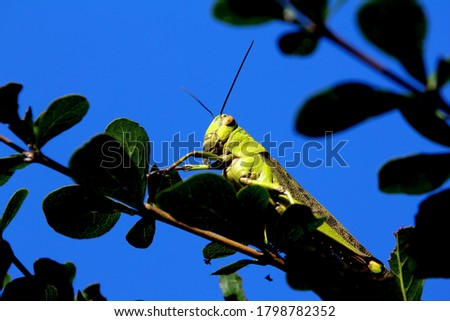 Green Grasshoppers known in the British Isles as the common green grasshopper.