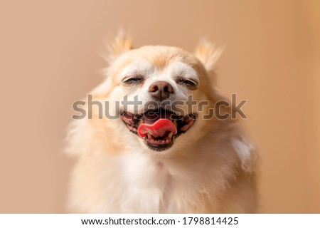 cute smile chihuahua brown color happiness friend lapdog with brown color background