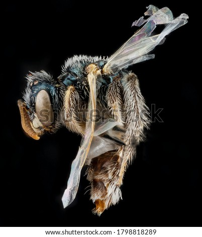 Bee insects isolated on black background, sweat bee, mason bee, Leafcutting bees, wasps insects, Bee flying isolated on black background, Macro insect, close-up photo, insects flies, studio shoot. #1798818289
