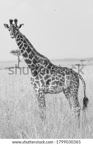 Black and white photo of isolated young giraffe standing in tall grass on African Serengeti savanna landscape in Masai Mara National Reserve, Kenya, Africa