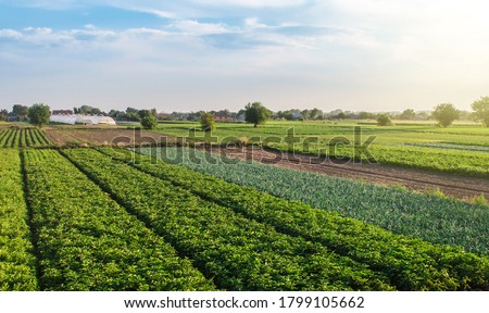 Landscape of green potato bushes plantation. Agroindustry and agribusiness. Wonderful european summer countryside landscapes. Growing food on farm. Aerial view Beautiful countryside farmland. Royalty-Free Stock Photo #1799105662