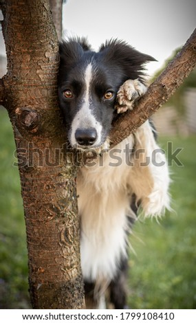 Border collie on the tree.