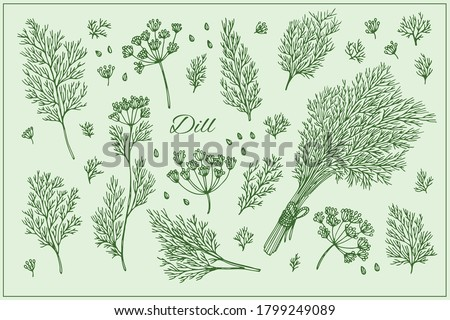 Set with Dill branch, leaf and seeds. Graphic hand drawn engraving style. Botanical illustration for packaging, menu cards, posters, prints. Royalty-Free Stock Photo #1799249089