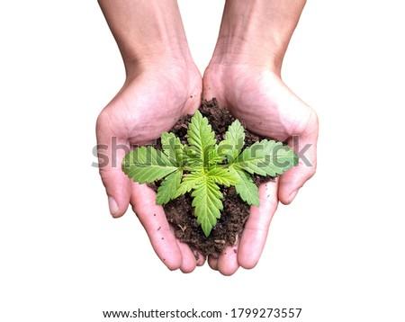 Farmers hold hands to grow marijuana Farm concept, growing marijuana on white background.