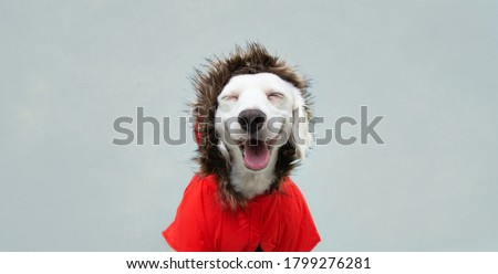 Happy autumn puppy dog wearing a red parka, coat, Isolated on blue background. Royalty-Free Stock Photo #1799276281