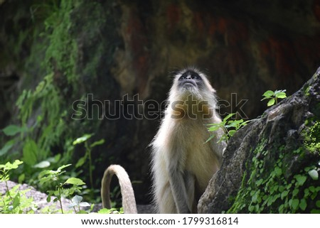 Picture of a Monkey Looking in Sky