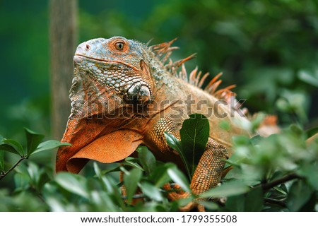 Red Iguana is a genus of herbivorous lizards that are native to tropical areas of Mexico, Central America, South America, and the Caribbean.  Royalty-Free Stock Photo #1799355508