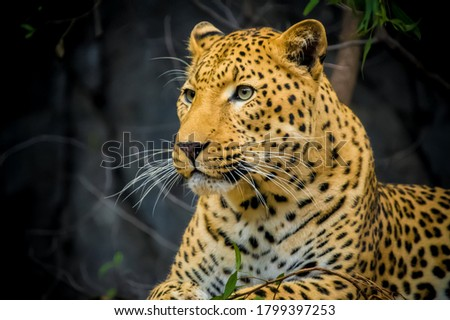 Beautiful picture of leopard in wild life Animals