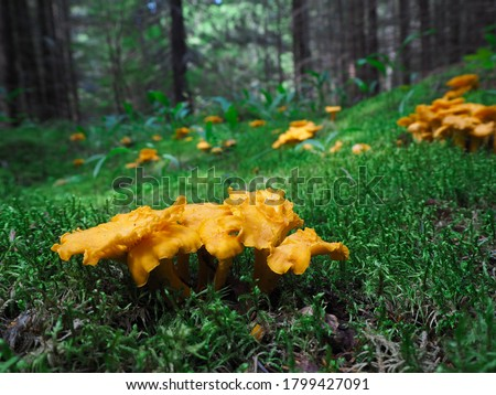 Close-up of a family of small orange chanterelles growing among the green grass in a pine forest. Glade of edible mushrooms. Fauna of Russia. #1799427091