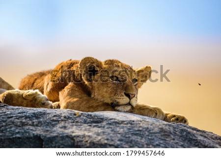 Group of young lions lying on rocks - beautiful scenery of savanna at sunset. Wildlife Safari in Serengeti National Park, Masai Mara, Tanzania, Africa Royalty-Free Stock Photo #1799457646