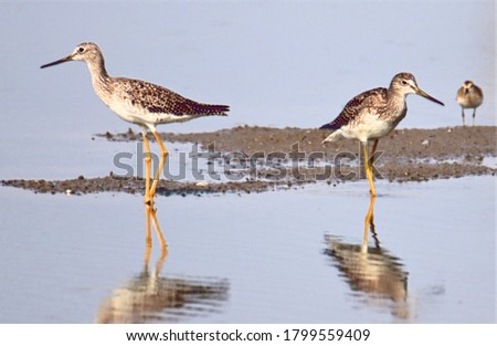 Picture of greater yellowlegs taken at New Chicago Marsh in Alviso.