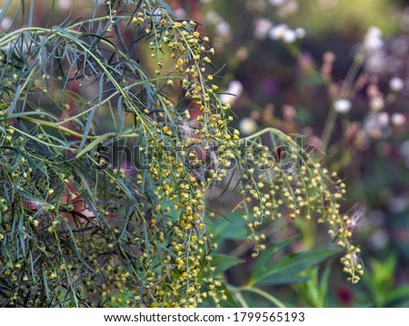 Tarragon (Artemisia dracunculus), also known as estragon in wild nature. Selective focus. Branch of tarragon herb on a blurred background #1799565193