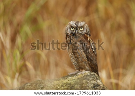 Eurasian scops owl. Otus scops. The wild nature of Bulgaria. Free nature. A beautiful picture of nature. Rhodopes. A little bird. Owl on the tree. Mountains in Bulgaria