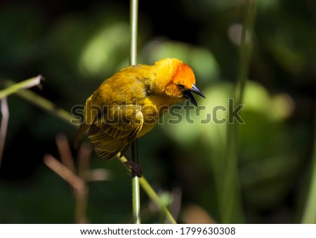 This image shows a perched Taveta Golden Weaver Bird (Ploceus castaneiceps) with it's beak open. Royalty-Free Stock Photo #1799630308