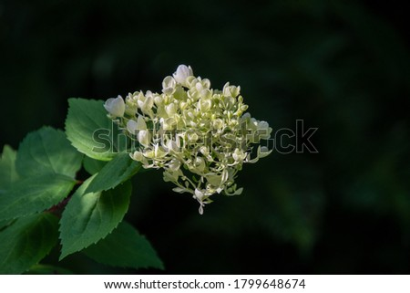 A picture of white hydrangeas with black background.