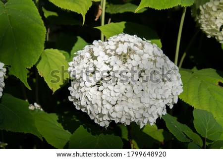 A picture of white hydrangeas.