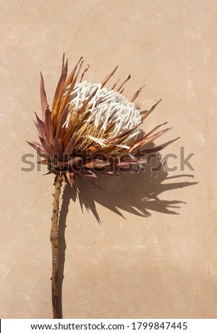 dried exotic flower Protea and shadow on beige  paint textured background close up . poster. minimal floral concept #1799847445