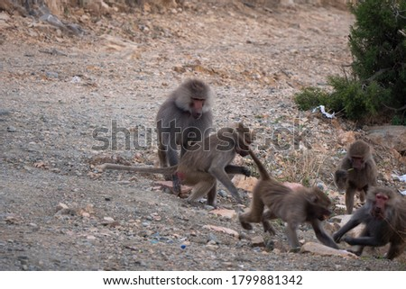 Baboons up in the Al Hada Mountains in the Taif region of Saudi Arabia