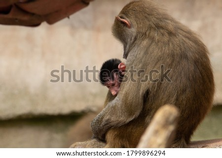 female baboon nursing on the rocks with a natural brown background