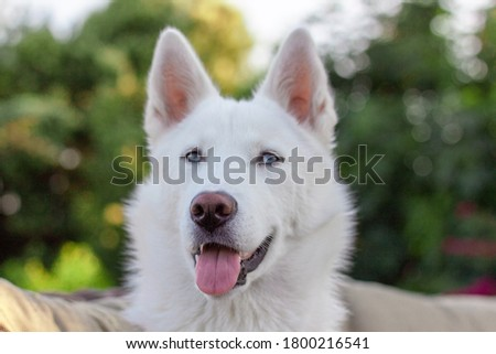 Beautiful picture of a Siberian husky