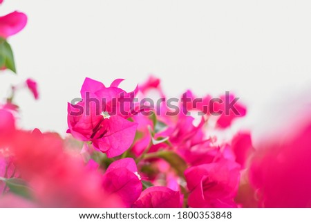 Blurred picture of pink tulips in the garden