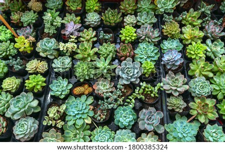 Succulent flowerbeds plant in the garden. This is a species of cactus family that is resistant to extreme weather and is decorated in the home Royalty-Free Stock Photo #1800385324