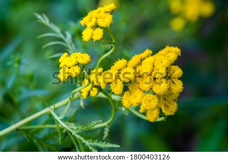 Tansy Tanacetum vulgare is a perennial herbaceous flowering plant in the aster family. It is also known as ordinary tansy, bitter buttons, bitter cows or golden buttons. #1800403126