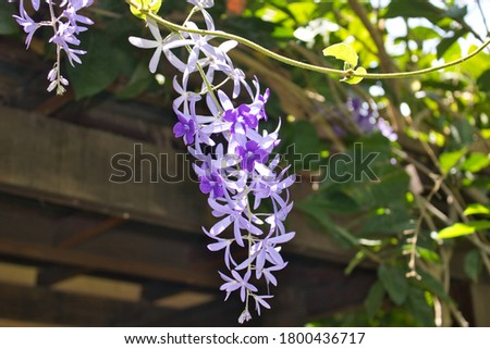 This unique picture shows a beautiful purple orchid that grows wild on a tree which grows on a bush in a tropical garden in thailand