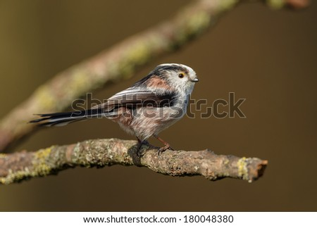 Long Tailed Tit in springtime perched on twig #180048380
