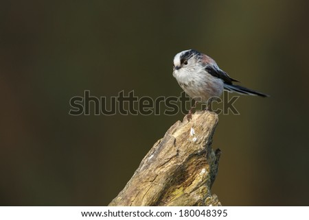 Long Tailed Tit in springtime perched on twig #180048395