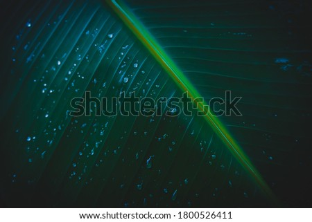 Banana leaves with rainwater for backgrounds, Water drops on banana leaf with vignetting