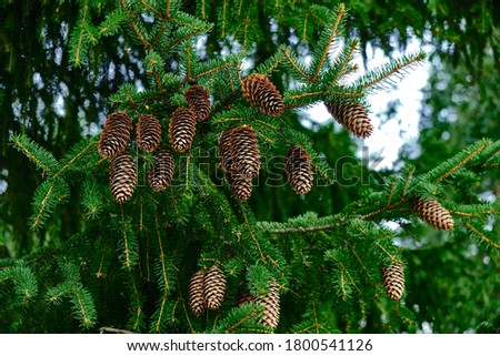 The spruce cones on the spruce tree. Picture of the natural tree for the background. Royalty-Free Stock Photo #1800541126
