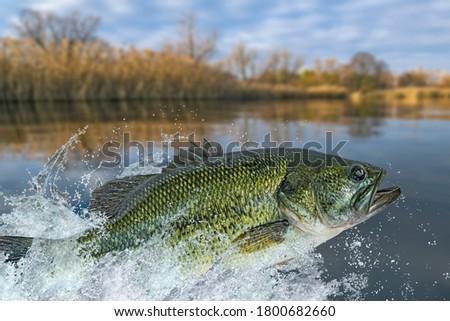 Bass fishing. Largemouth perch fish jumping with splashing in water Royalty-Free Stock Photo #1800682660