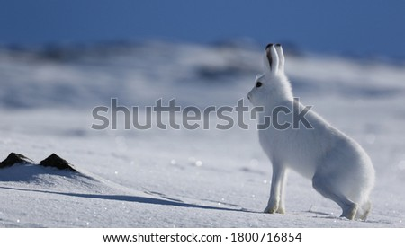 Beautiful picture of a white rabbit on snow