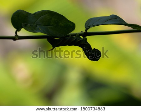 Silhouette picture of The privet hawk moth caterpillar (Sphinx ligustri). image of living wildlife