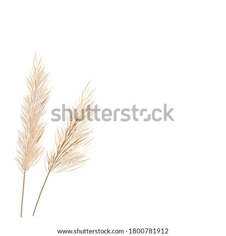 Vector stock illustration of pampas grass. Cream branch of dry grass. Panicle Cortaderia selloana South America, feather flower head plumesstep. Soft pink color. Template for a wedding card. Royalty-Free Stock Photo #1800781912