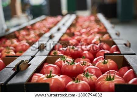 Ripe red and pink tomatoes placed in cardboard boxes stored at a vegetable processing plant Royalty-Free Stock Photo #1800794032