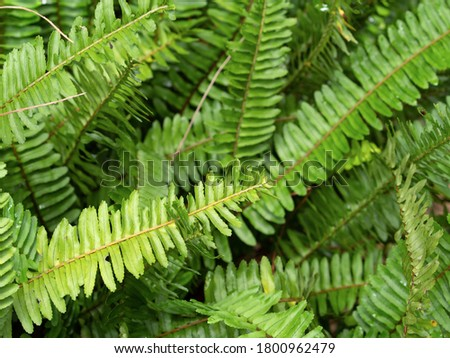 a green fern without a flower in natural light. the photo was taken in the courtyard of a house in Vietnam during the day without using additional lighting #1800962479