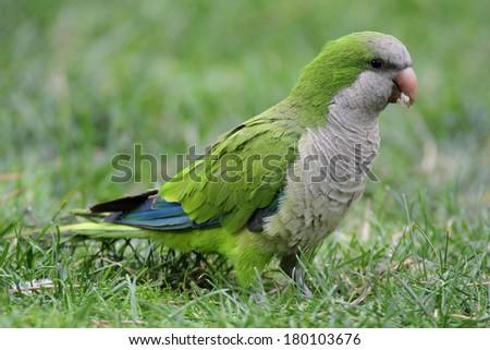 Monk Parakeet (Myiopsitta monachus)  #180103676