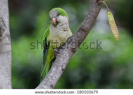 Monk Parakeet (Myiopsitta monachus) taken in Barcelona, Spain #180103679