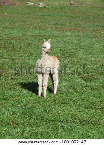 Baby alpaca standing alone in field. Picture taken in the Peruvian andes.