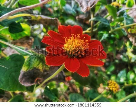 Mexican sunflower,Tithonia diversifolia high resolution stock photo