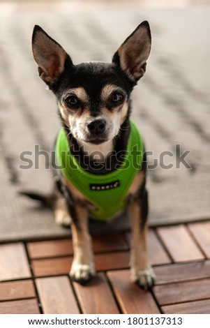 A cute chihuahua posing for a picture.