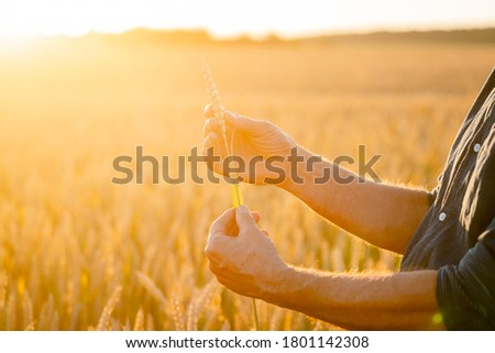 Ripening ears of yellow wheat field on the cloudless lue sky background. Horizon in rural meadow. Nature photo. Idea of a rich harvest.