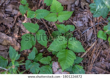 A clump of poison ivy growing on the forest floor along the trail in the woodland on a bright sunny day in summer