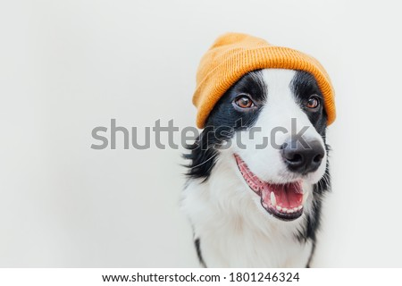 Funny studio portrait of cute smiling puppy dog border collie wearing warm knitted clothes yellow hat isolated on white background. Winter or autumn portrait of new lovely member of family little dog Royalty-Free Stock Photo #1801246324