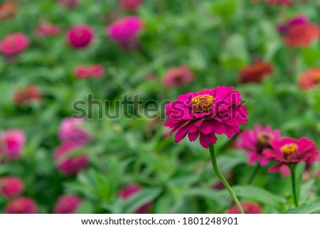 Flowers zinnia elegans. Color nature background.Macro photo of nature plant flower zinnia with beautiful petals. #1801248901