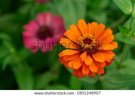 Flowers zinnia elegans. Color nature background.Macro photo of nature plant flower zinnia with beautiful petals. #1801248907