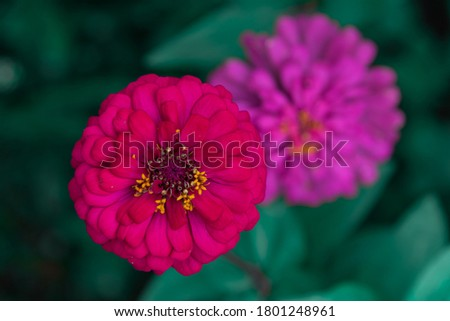 Flowers zinnia elegans. Color nature background.Macro photo of nature plant flower zinnia with beautiful petals. #1801248961