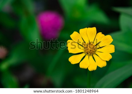 Flowers zinnia elegans. Color nature background.Macro photo of nature plant flower zinnia with beautiful petals. #1801248964